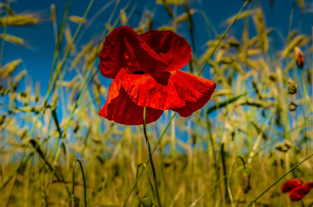 plant510 - roter Mohn / red poppy - Germany