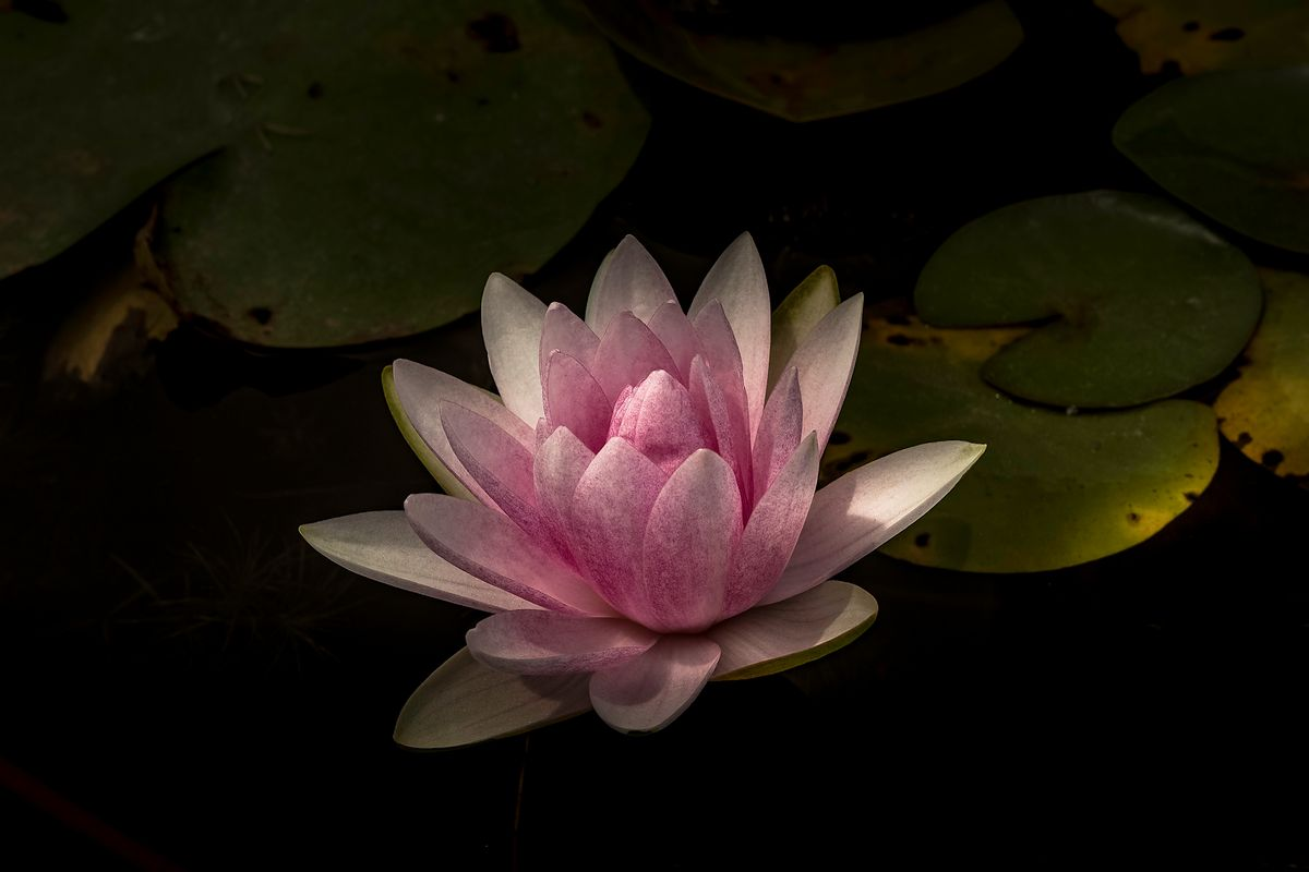 plant511 - Seerose / water lily - Thailand