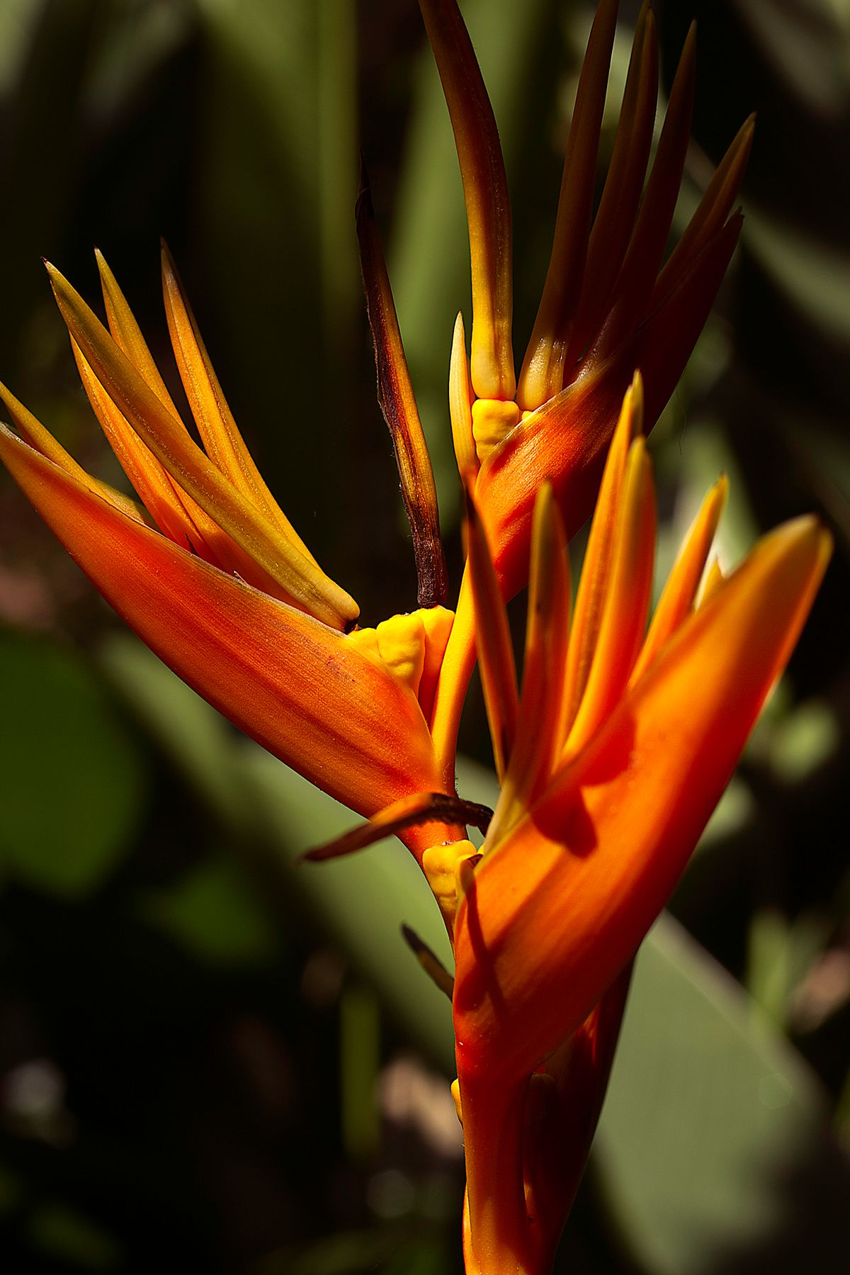 plant589 - Papageienblume / parrot flower _ Malaysia